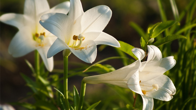 Lilies and the Memorial Flower Fund